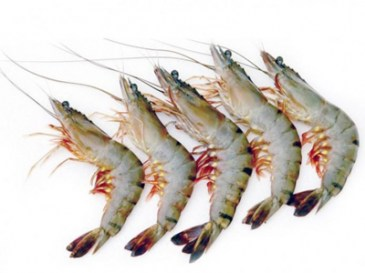 Black Tiger Prawn HOSO 13-15
